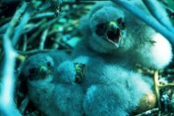 Merlin chicks Photo