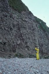 Buldir Island, H. Douglas counting kittiwakes, 7/1988 Photo