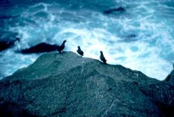 Crested Auklets Photo