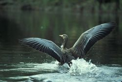 White-fronted Goose Landing on Water Photo