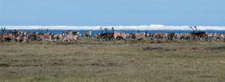 1002 Area: Caribou and sea ice Photo