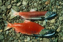 Male and Female Red Salmon or Sockeye Salmon Specimens Photo
