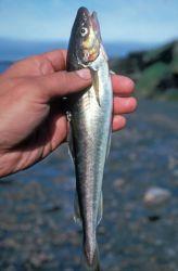 Arctic Cod Photo