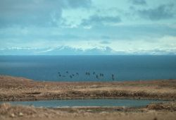 Aleutian Cackling Geese - Flock Flying over Wetland Photo