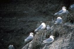 Black-legged Kittiwakes and Young at Nest Photo