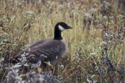 Aleutian Cackling Goose Portrait Photo
