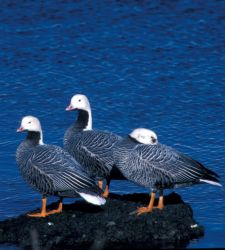 Emperor Geese at Adak Island Clam Lagoon Photo