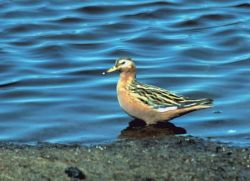 Red Phalarope, Yukon Delta NWR Photo