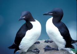 Thick-billed Murres, 1989 Photo