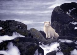 Pribilof Island Oil Spill, M/V Citrus 1996 Arctic Fox scavenges for carcasses (Album) Photo
