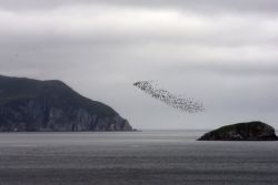 Big Koniuji Island auklets, Shumagin Islands Photo