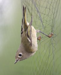 Ruby-crowned Kinglet in Mist Net Photo