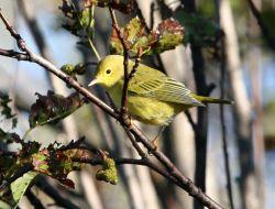 Yellow Warbler Photo