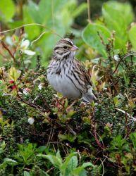 Savanna Sparrow Photo