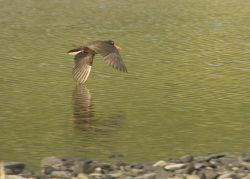 Black Oystercatcher on Nagai Island, Shumagins, Photo