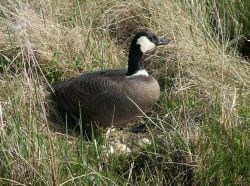 Cackling Canada Goose at Nest Photo