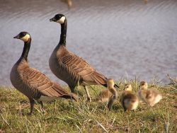 Cackling Canada Goose Brood Photo