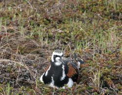 Ruddy Turnstone on Nest Photo