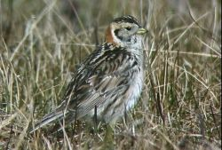 Lapland Longspur Photo