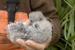 Fork-tailed Storm-Petrel chick, Ulak Island Photo
