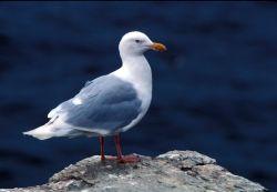 Glaucous Gull Photo