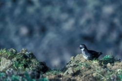 Least Auklet Photo