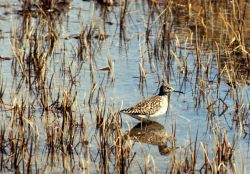 Wood Sandpiper, Amchitka Is, 1973 Photo
