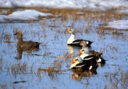 King Eiders Photo