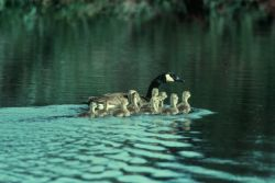 Canada Goose and Brood Photo