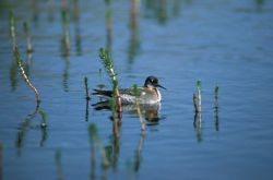 Northern Phalarope or Red-necked Phalarope Photo