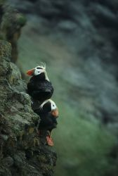 Tufted Puffin Pair Photo