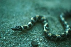 Short-tailed Snake Photo
