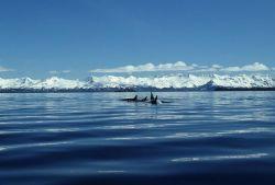 Killer Whale Pod Photo