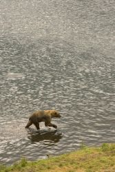 Brown Bear Wading Through Water Photo