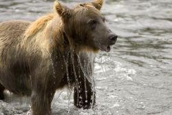 Brown Bear Emerging From Water Photo