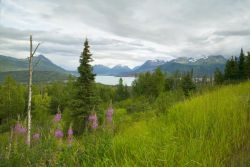 Hillside with Fireweed Photo