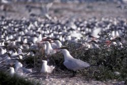 Caspian Terns Photo