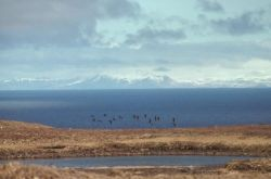 Aleutian Cackling Geese in Flight Over Amchitka Island Photo