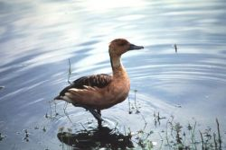 Fulvous Whistling Duck Photo