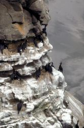 Red-faced Cormorant Colony Photo