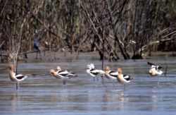Avocets Photo