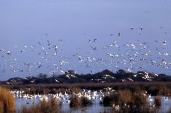 Snow Geese Photo