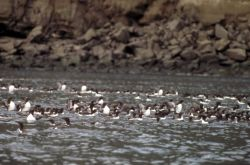 Common Murres on the Water Photo