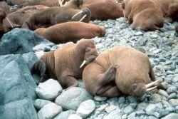 Walrus Pair Photo