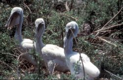 Young Brown Pelicans Photo