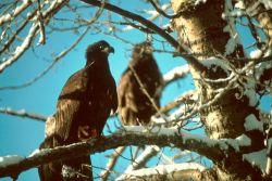 Bald Eagle Fledglings Photo