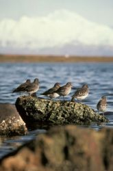 Rock Sandpiper Flock Photo