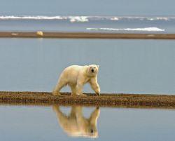 Polar bear walking along the coast Photo