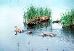Canvasback Duck Photo