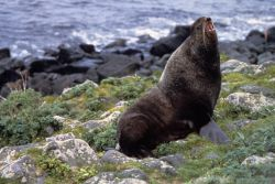Northern Fur Seal Photo